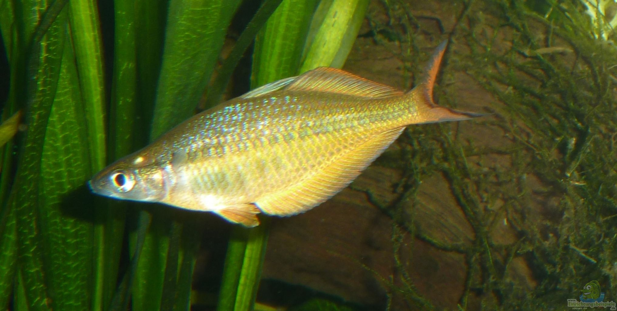 Like all armored catfish is also green gold catfish