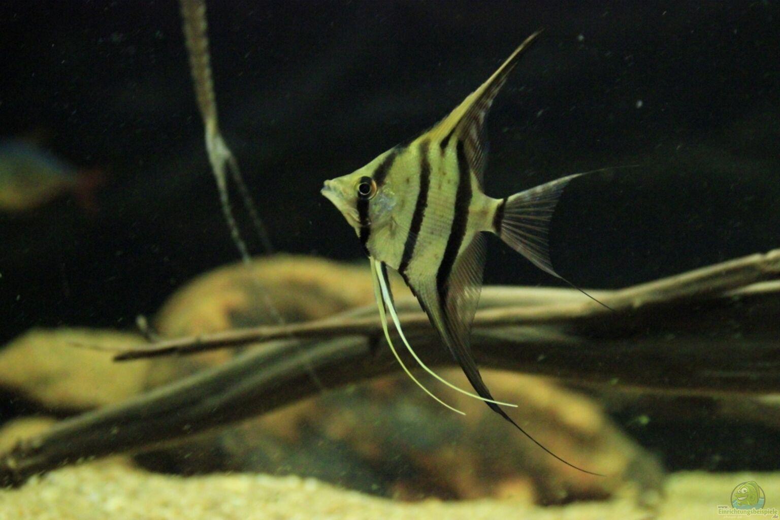 Example no 30850 from the category south america for Skalar aquarium