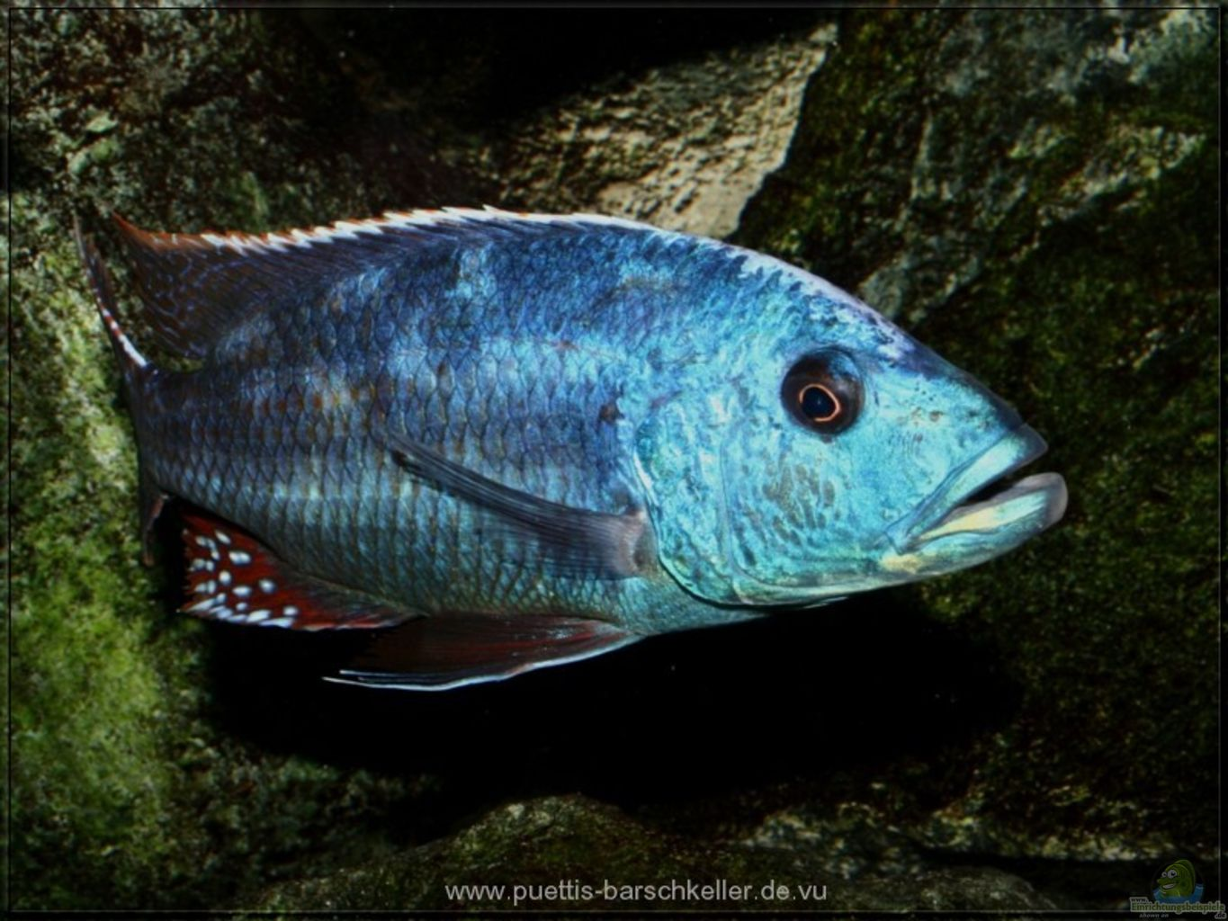Fusco Cichlid Related Keywords & Suggestions - Fusco Cichlid Long Tail ...