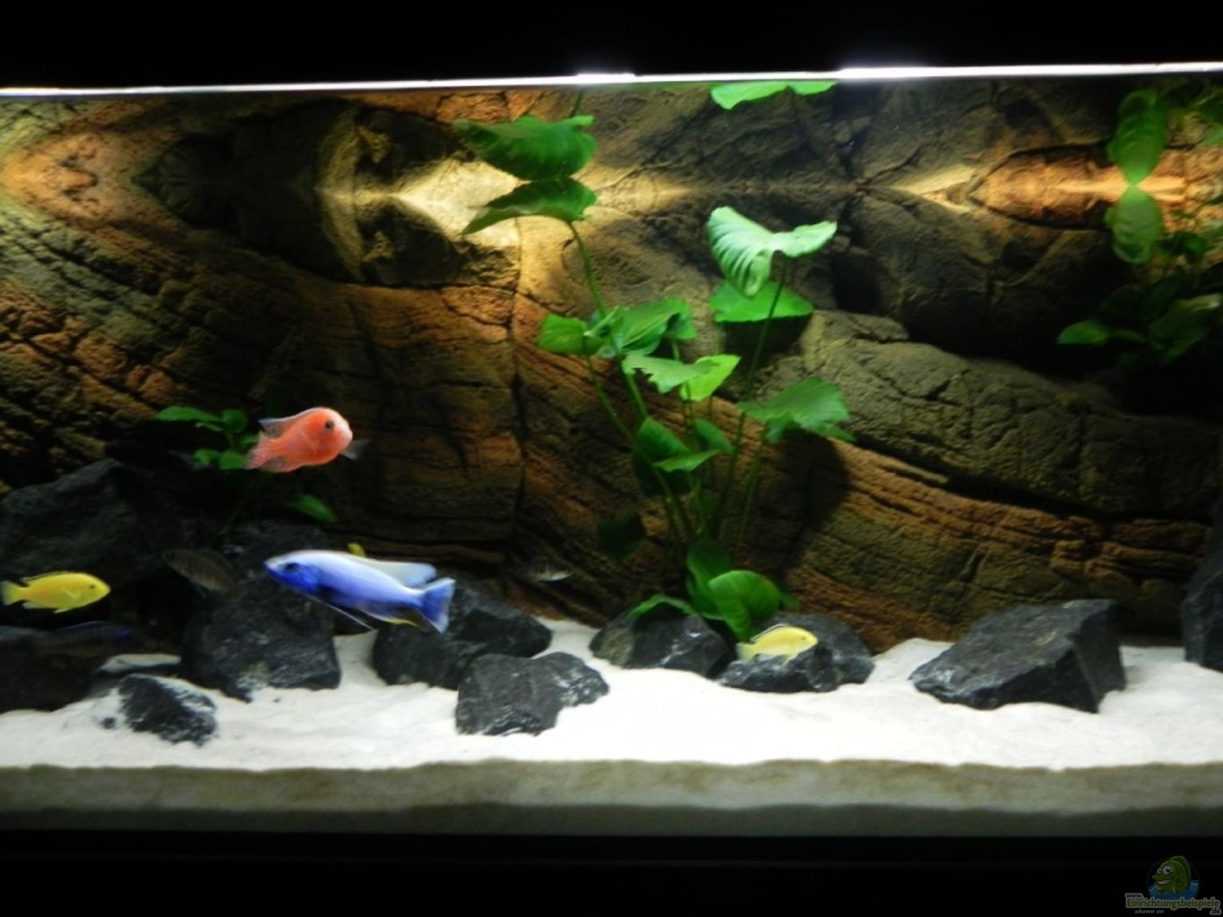 Example no 7006 from the category lake malawi for Aquarium corner decoration
