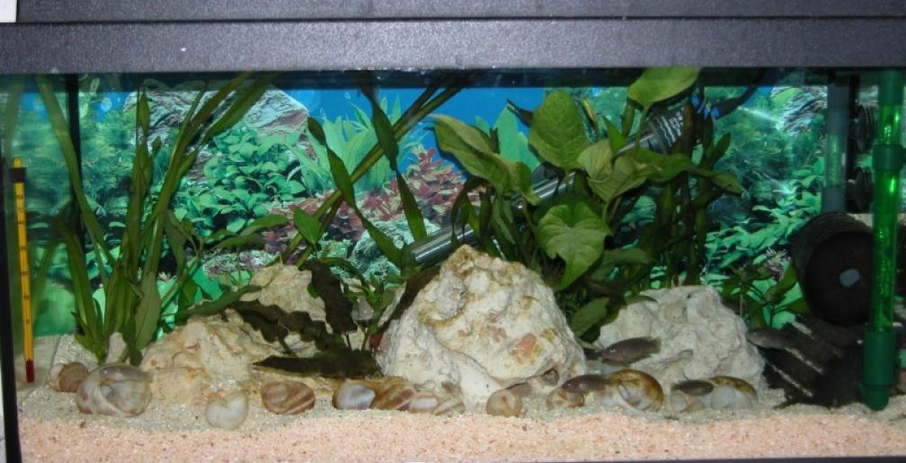 Live Tropical Aquarium Plant Cryptocoryne bekettii